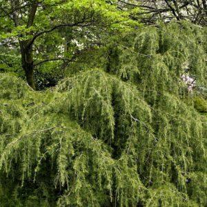 Cedrus deodara 'Robusta' - Vrtnarstvo Breskvar