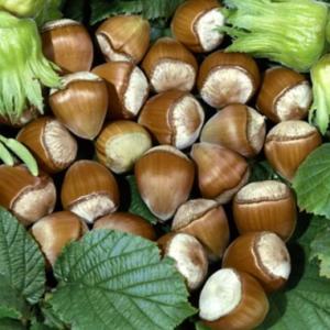 Corylus avellana 'Cosford ' - Vrtnarstvo Breskvar
