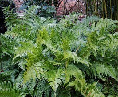 Dryopteris erythrosora - Vrtnarstvo Breskvar