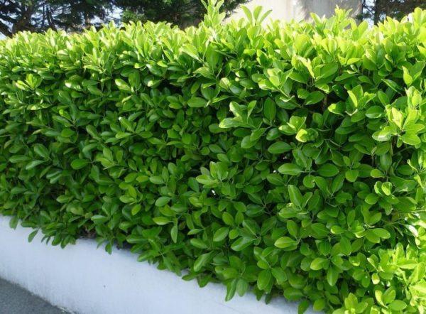Euonymus japonicus - Vrtnarstvo Breskvar