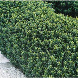 Euonymus japonicus 'BenkomasakI' - Vrtnarstvo Breskvar