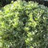 Euonymus japonicus 'President Gauthier' - Vrtnarstvo Breskvar