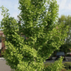 Ginkgo biloba - Vrtnarstvo Breskvar