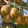 Actinidia deliciosa 'Jenny' - Vrtnarstvo Breskvar