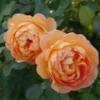 ROSA 'Lady of shalott' - Vrtnarstvo Breskvar