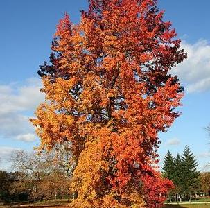 Liquidambar sttyraciflua jesen - Vrtnarstvo Breskvar