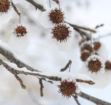Liquidambar styraciflua pozimi - Vrtnarstvo Breskvar