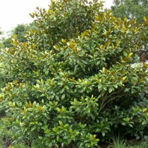 Magnolia grandiflora 'Galissonniere' - Vrtnarstvo Breskvar