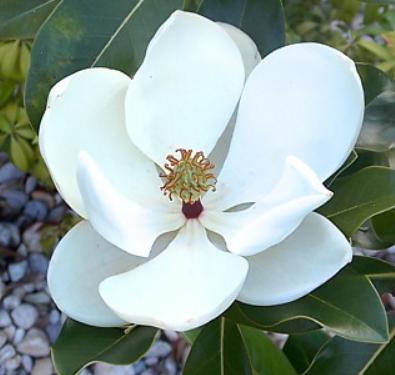 Magnolia Maryland - Vrtnarstvo Breskvar