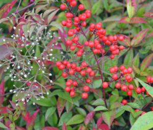 Nandina domestica ' Gulf Stream' - Vrtnarstvo Breskvar