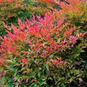 Nandina dometica 'Gulf stream' - Vrtnarstvo Breskvar