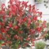 Photinia fraseri 'Little Red Robin' - Vrtnarstvo Breskvar