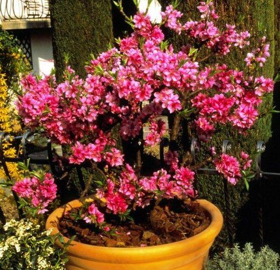 Prunus persica Diamond Zaipevi - Vrtnarstvo Breskvar