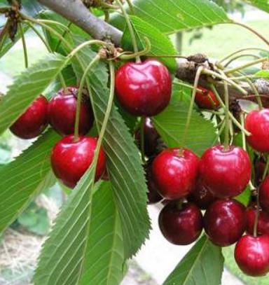 Prunus avium 'Garden Bing' - Vrtnarstvo Breskvar