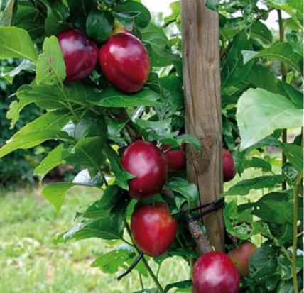 Prunus Safira - Vrtnarstvo Breskvar