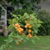 Prunus armeniaca CompactaPrunus armeniaca Compacta® - Vrtnarstvo Breskvar