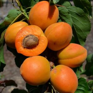 Prunus armeniaca Compacta® - Vrtnarstvo Breskvar