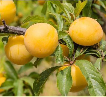 Prunus domestica Goldust® - Vrutnarstvo Breskvar