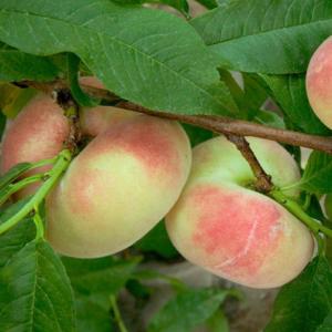 Prunus persica Saturn - Vrtnarstvo Breskvar