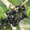 Ribes nigrum 'Titania' - Vrtnarstvo Breskvar