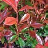 Photinia fraseri 'Robusta Compact' - Vrtnarstvo Breskvar