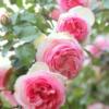 Rosa hyb 'Pierre de Ronsard' - Vrtnarstvo Breskvar