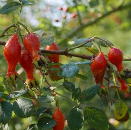 Rosa moyesii - Vrtnarstvo Breskvar
