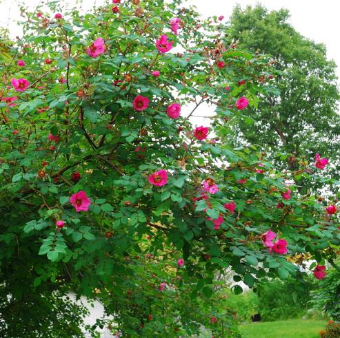 Rosa moyesii grm - Vrtnarstvo Breskvar