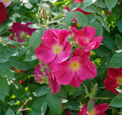 Rossa moyesii - Vrtnarstvo Breskvar