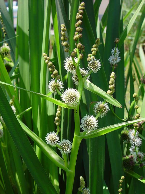 Sparganium erectum - Vrtnarstvo Breskvar