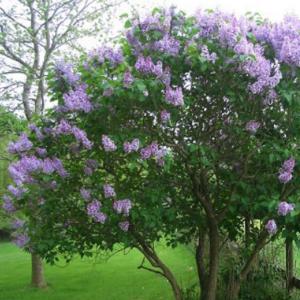 Syringa vulgaris grm - Vrtnarstvo Breskvar