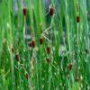 Typha minima - Vrtnarstvo Breskvar