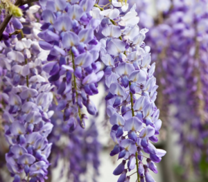 Wisteria sinensis - Vrtnarstvo Breskvar