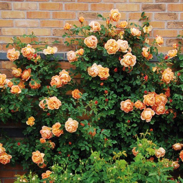 ROSA 'Lady of Shallot' - Vrtnarstvo Breskvar