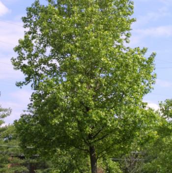 Liquidambar styraciflua - Vrtnarstvo Breskvar