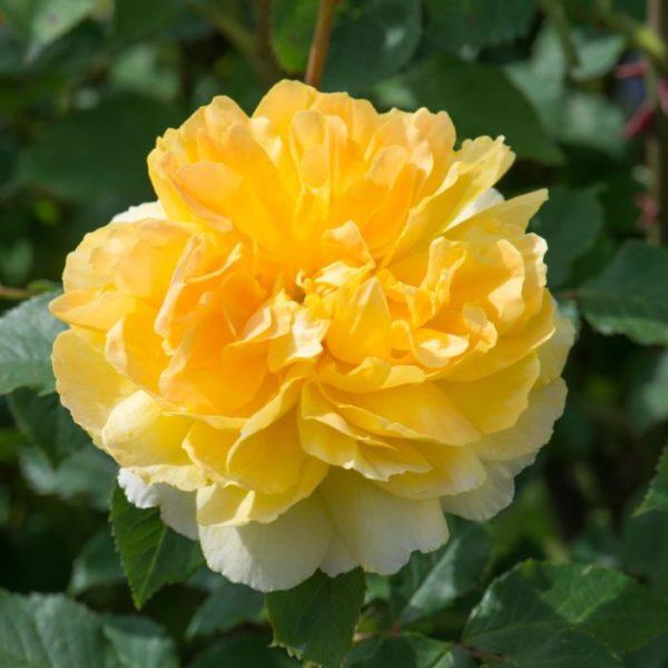 ROSA 'Molineux' - Vrtnarstvo Breskvar