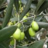 Olea europea - Vrtnarstvo Breskvar