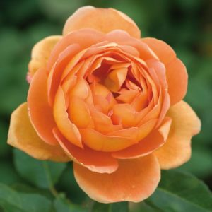 Rosa ' Pat Austin' - Vrtnarstvo Bres