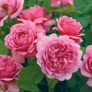 Rosa ' Princess Alexandra of Kent' - Vrtnarstvo Breskvar