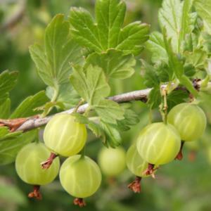 Ribes uve-crispa 'Karlin' - Vrtnarstvo Breskvar