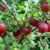 Ribes uva-crispa 'Hinnonmaki Red' - Vrtnarstvo Breskvar
