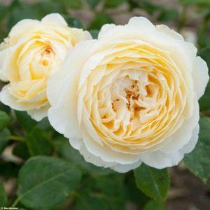Rosa 'Claire Austin' - Vrtnarstvo Breskvar
