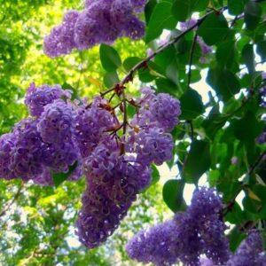 Syringa vulgaris - Vrtnarstvo Breskvar