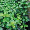 Veronica besscabunga - Vrtnarstvo Breskvar