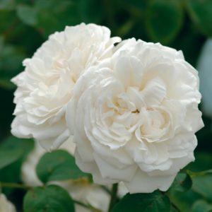 Rosa 'Winchester cathedral' - Vrtnarstvo Breskvar