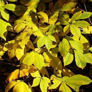 Aesculus parviflora - Vrtnarstvo Breskvar