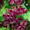 Akebia quinata - Vrtnarstvo Breskvar