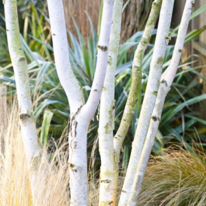 Betua utilis 'Jacquemontii' - Vrtnarstvo Breskvar