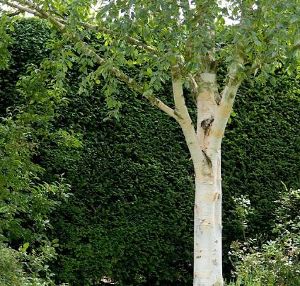 Betula utillis 'Jacquemontii' -Vrtnarstvo Breskvar