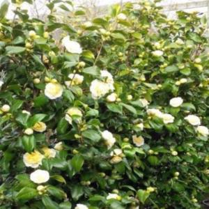 Camellia j. Jury's Yellow - Vrtnarstvo Breskvar
